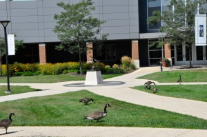 Geese at USG