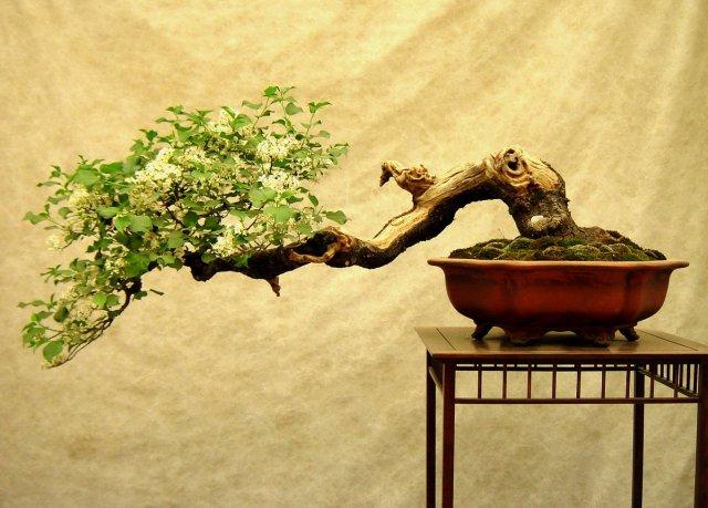 bonsai-1315488