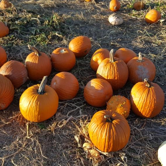 PumpkinsButlersOrchard