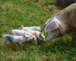 abbie-piglets